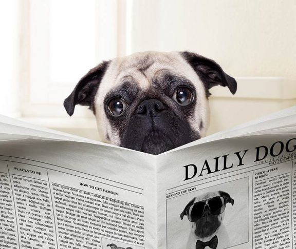 Pug sitting on the toilet and reading a newspaper