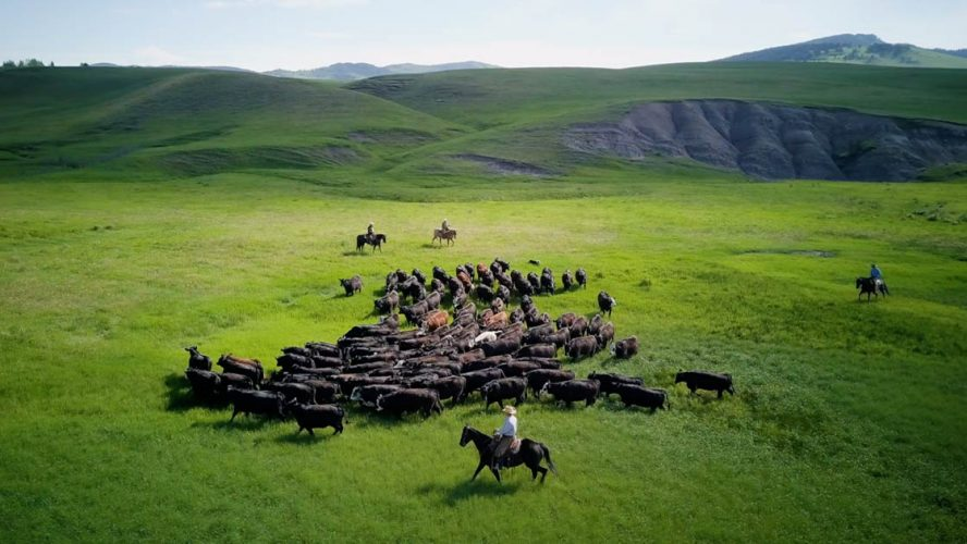 Cowboys herding cattle
