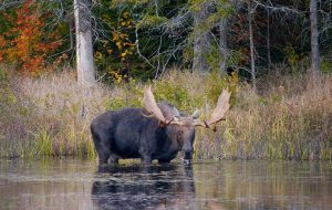 Moose standing in lake in Algonquin