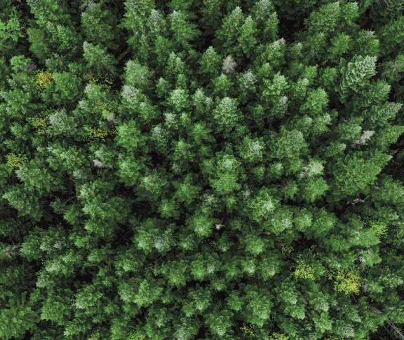 Aerial view of a dense pine forest