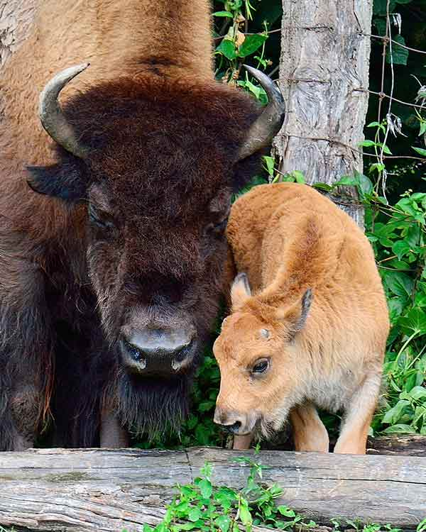 Bison and its baby at the Toronto Zoo