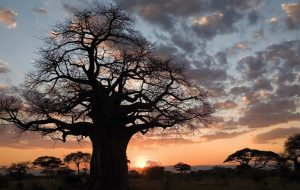 Large tree against a sunset