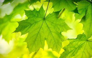 Sun shining through a green maple leaf on a tree