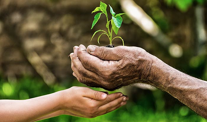 Two pairs of hands, the elderly passing a seedling to the child's
