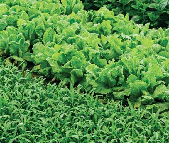 Rows of leafy green vegetable crops