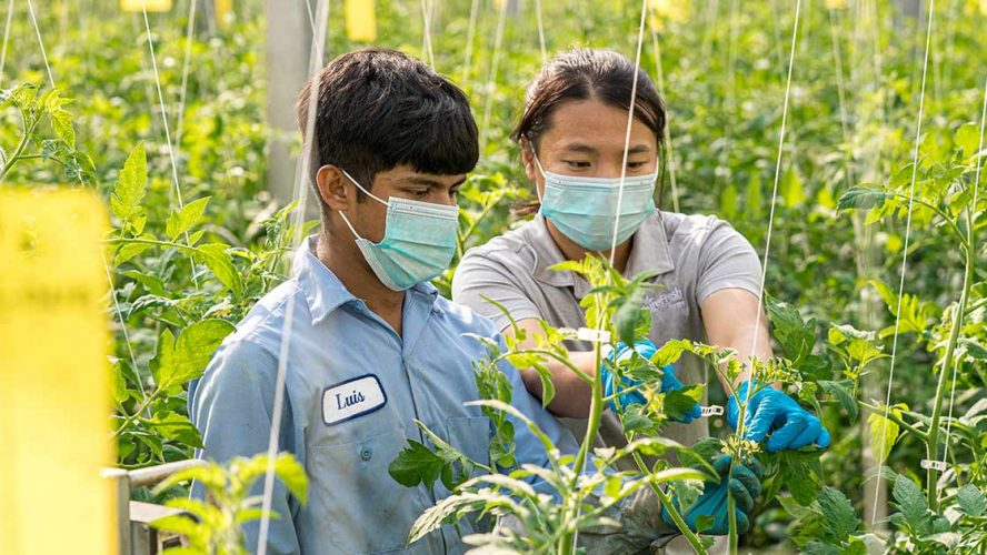 Two greenhouse growers inspecting the produce