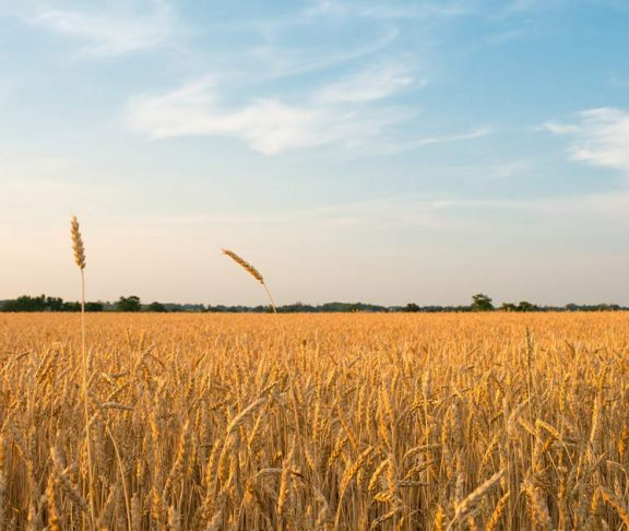 Photo of a wheat field