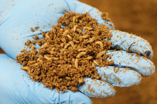 Sustainable insect protein