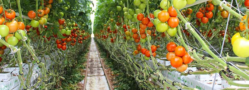 Tomatoes growing in an Ontario greenhouse