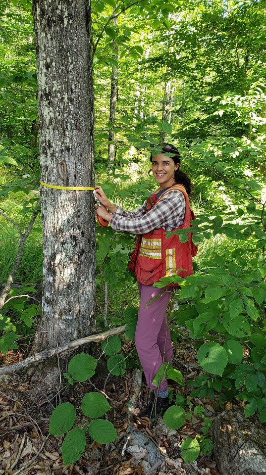 SFI employee measuring a tree
