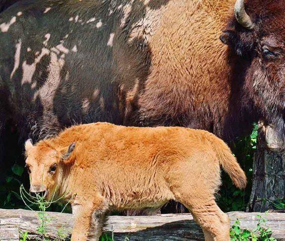 baby bison toronto zoo