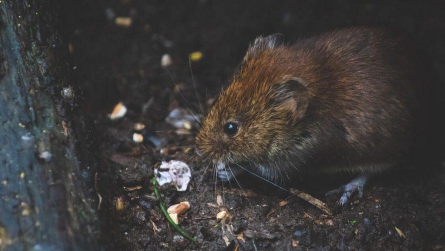 Slagelse satser på smart bekæmpelse af rotter