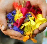 Händer som håller i blommor för givande