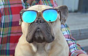 Den franske bulldogen Einar