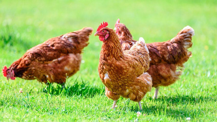 Høner