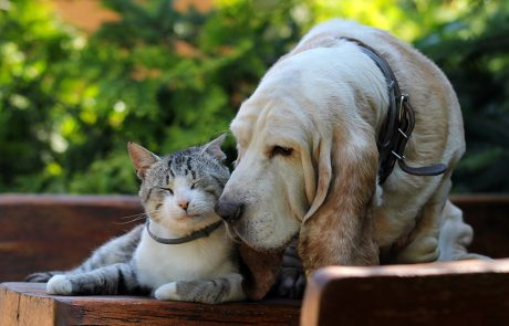 Kitten and a senior basset hound