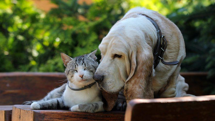 Kitten and a senior basset hound