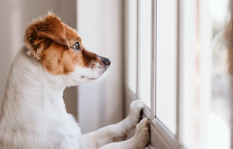 Terrier puppy looking sadly out the window