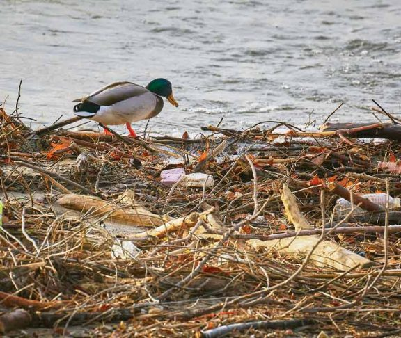 Mallard standing on a pile of sticks and plastic trash
