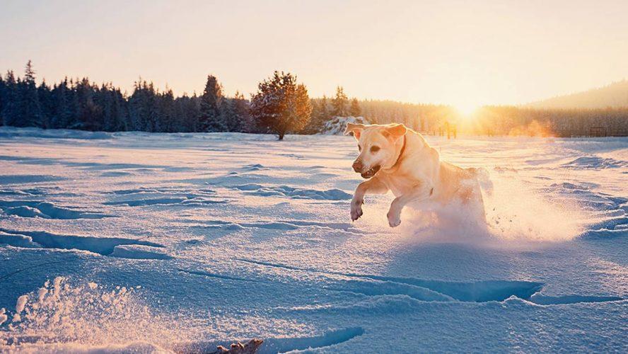Yellow lab bounding through snow
