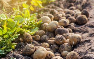 Ochrona roślin - zagrożenia zrównoważonego rolnictwa