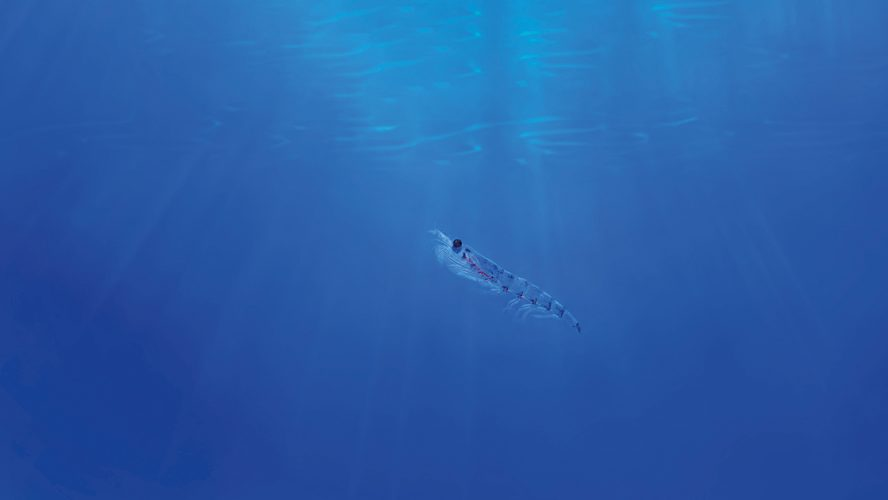 Krill i havet