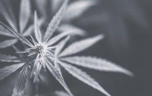 cannbis leaf