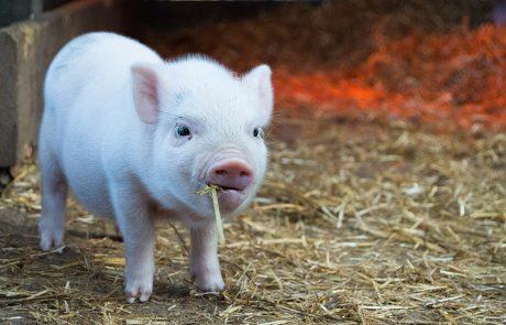 et lille svin - Sofie Signe har fået et andet forhold til dyr i forbindelse med uddannelsen