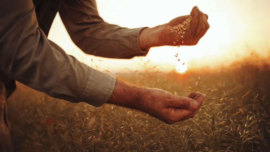 Photo of farmer's hands holding wheat grains in sunset