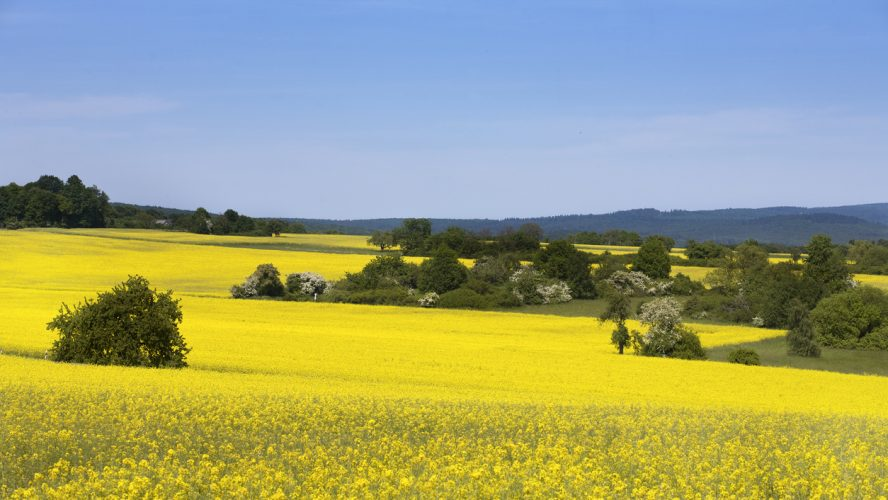 Canola field in spring