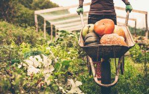 Women pushing the wheelbarrow full of pumpkins