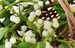 Mistletoe plant in a basket close up