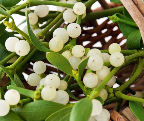 Mistletoe plant in a basket close up