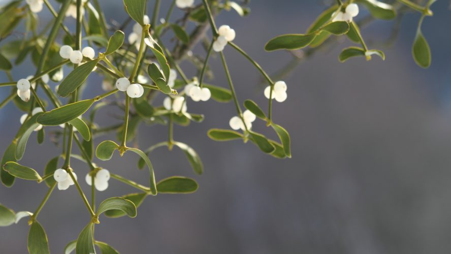 Close up of mistletoe in february /shallow DOF / Alternative herb used to treat cancerClose up of mistletoe in february /shallow DOF / Alternative herb used to treat cancer