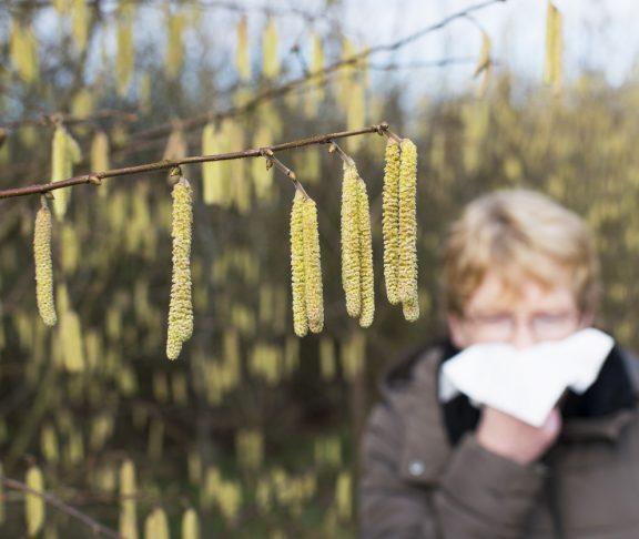 Allergy - haselnut blossom - Hay Fever