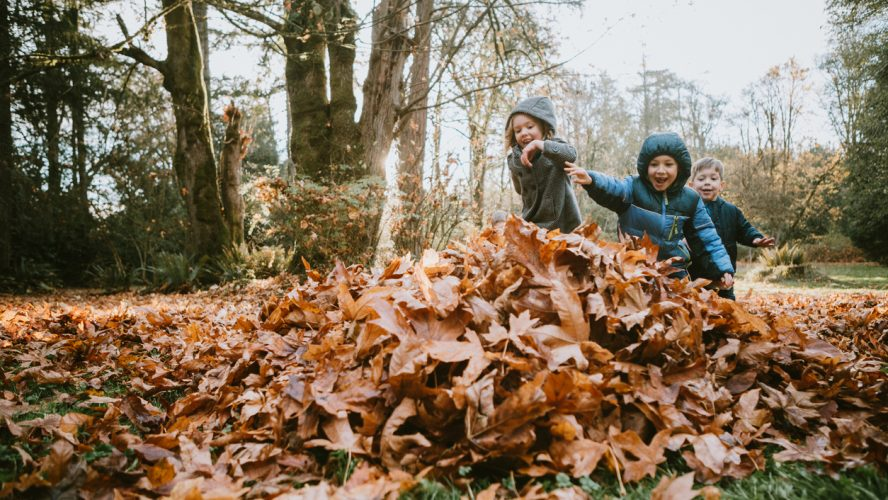 A group of children runs excitedly to jump into a pile of raked up maple leaves. A beautiful sunny day in the Pacific Northwest, Washington, United States.