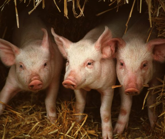 Three little piglets in a straw house, United Kingdom