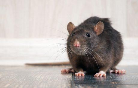 tuholainen-rotta