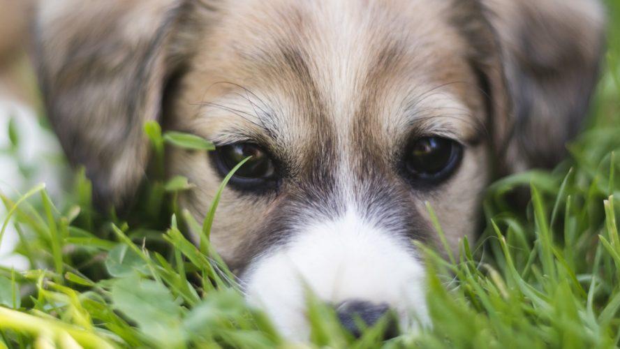 koiran akuutin ripulin hoito