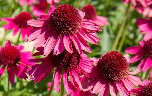 punahattu-echinacea-purpurea-rohtokasvi-flunssan-ehkaisy