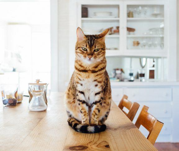 Kat met bruin-witte vacht zit op keukentafel