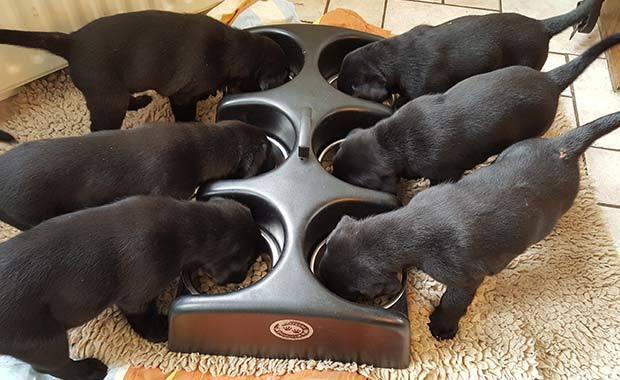 Zes pups eten van voederbakjes
