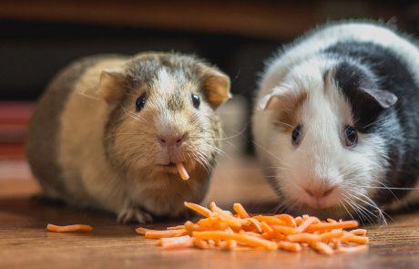 Twee hamsters eten geraspte wortel