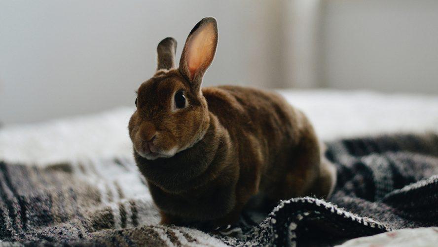 Donkerbruin konijn