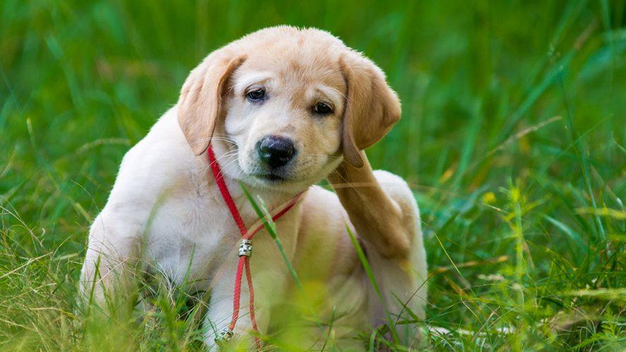 Vlooien herkennen bij honden: een jonge pup krabt achter zijn oor