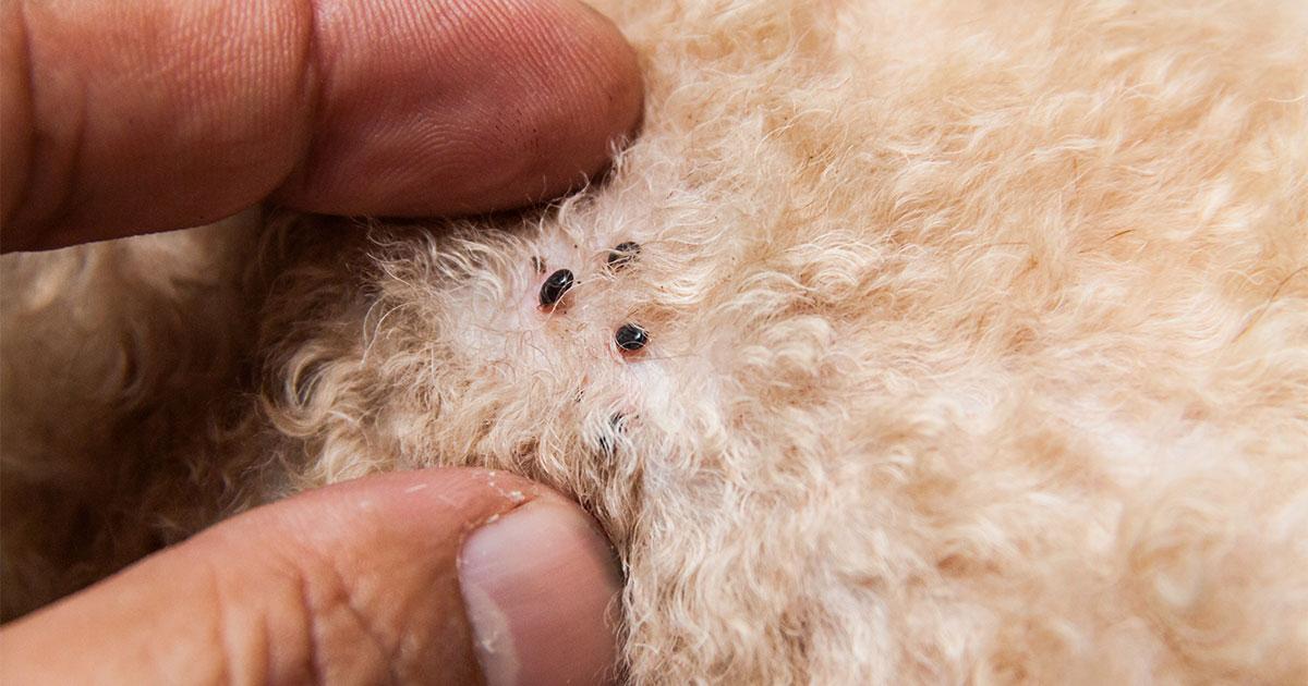 Vlooien herkennen in de vacht van een hond.