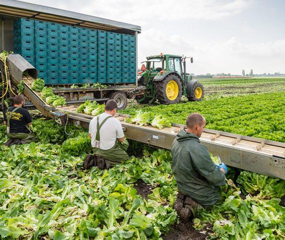 Boeren oogsten gewas