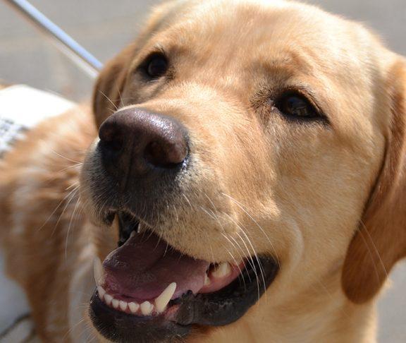 Geleide hond