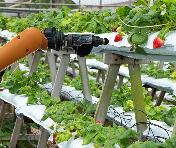 Robot plukt aardbeien